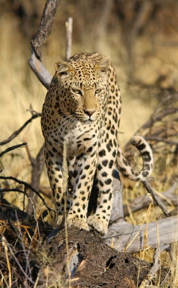 Close-up portrait of a leopard