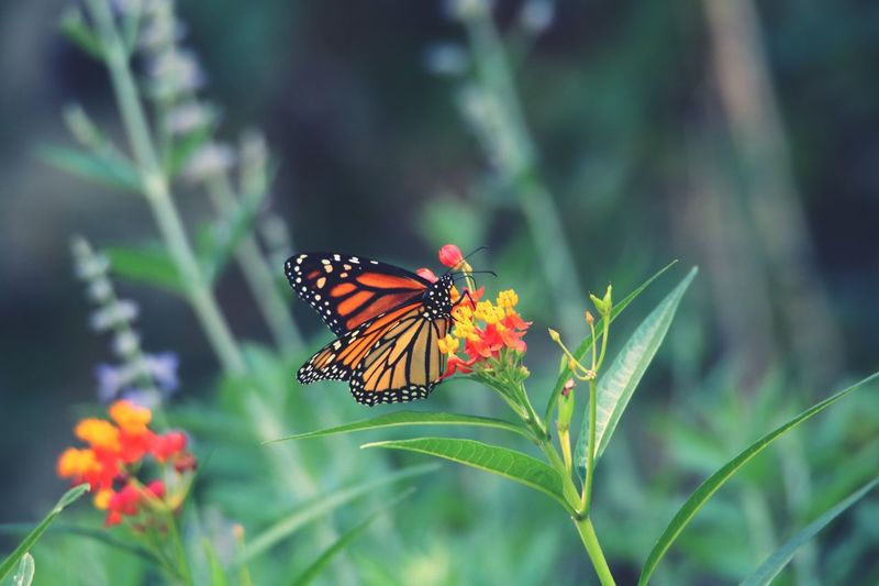 Animals In The Wild Insect Butterfly - Insect Animal Themes Flower Nature Freshness Plant Growth Beauty In Nature Fragility No People One Animal Outdoors Focus On Foreground Day Animal Wildlife Close-up Pollination Flower Head Butterfly Butterfly On Flower Monarch Butterfly