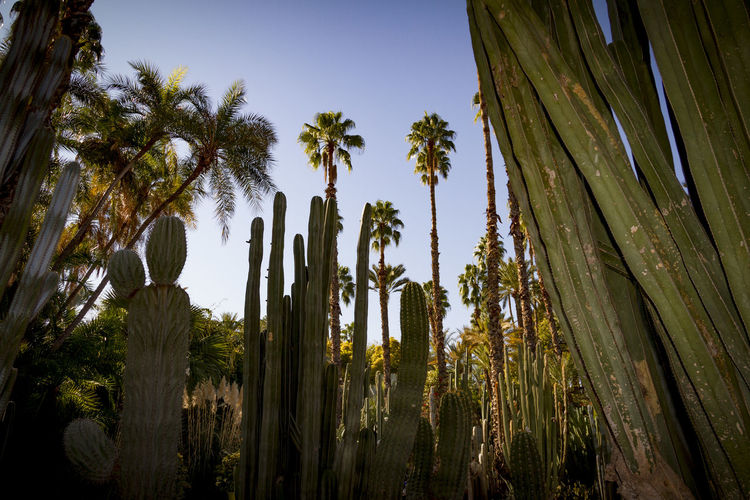 Tropical jungle, Marrakesh, Morocco. Morocco Africa Bamboo - Plant Beauty In Nature Cactus Coconut Palm Tree Day Growth Land Low Angle View Marrakech Nature Outdoors Palm Leaf Palm Tree Plant Scenics - Nature Sky Succulent Plant Tall - High Tranquil Scene Tranquility Tree Tree Trunk Tropical Climate