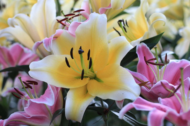 lily flowers background Flowering Plant Flower Petal Vulnerability  Fragility Plant Beauty In Nature Freshness Inflorescence Flower Head Yellow Growth Close-up Nature Day No People Pink Color Botany Focus On Foreground Pollen Outdoors Springtime Lily Lily Flower