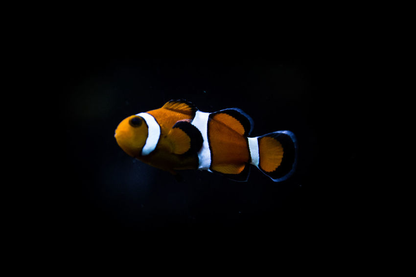 Beauty In Nature Black Background Close-up Clownfish Dark Finding Nemo Fish Fishing Nature No People Orange Color Pixar  SCUBA Scuba Diving Studio Shot Underwater Wildlife