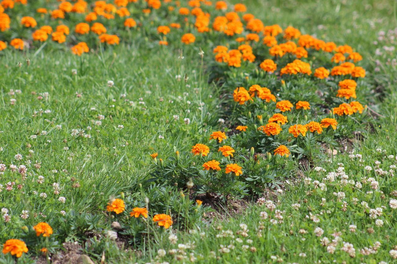 Orange Poppy Flowers Blooming In Field