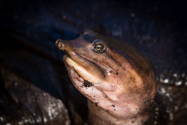 Soft shell turtle Turtle 🐢 Animal Themes Animal Wildlife Animals In The Wild Close-up Day Nature No People One Animal Outdoors Sea Life Swimming UnderSea Water