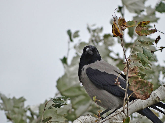 Crow sitting on a branch - Serchio River Animal Themes Animal Wildlife Animals In The Wild Beauty In Nature Bird Branch Corvus Cornix Crow In Autumn Crow On A Branch Crow Perched On A Branch Crow Perched On A Tree Crow Sitting On A Branch Nature Outdoors Perching Tree