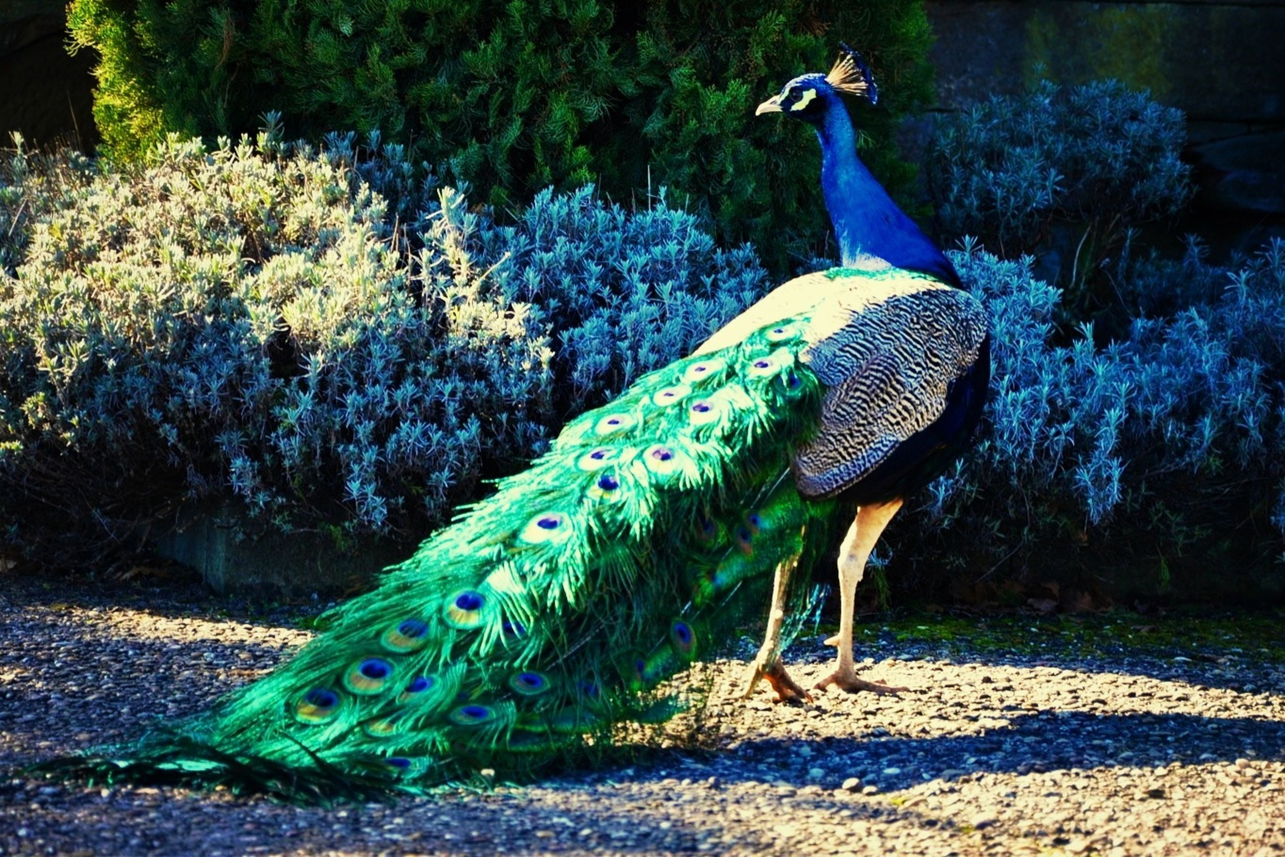 animal themes, animals in the wild, wildlife, one animal, bird, water, peacock, beauty in nature, nature, blue, side view, rock - object, full length, outdoors, zoology, day, two animals, no people, tree, sea