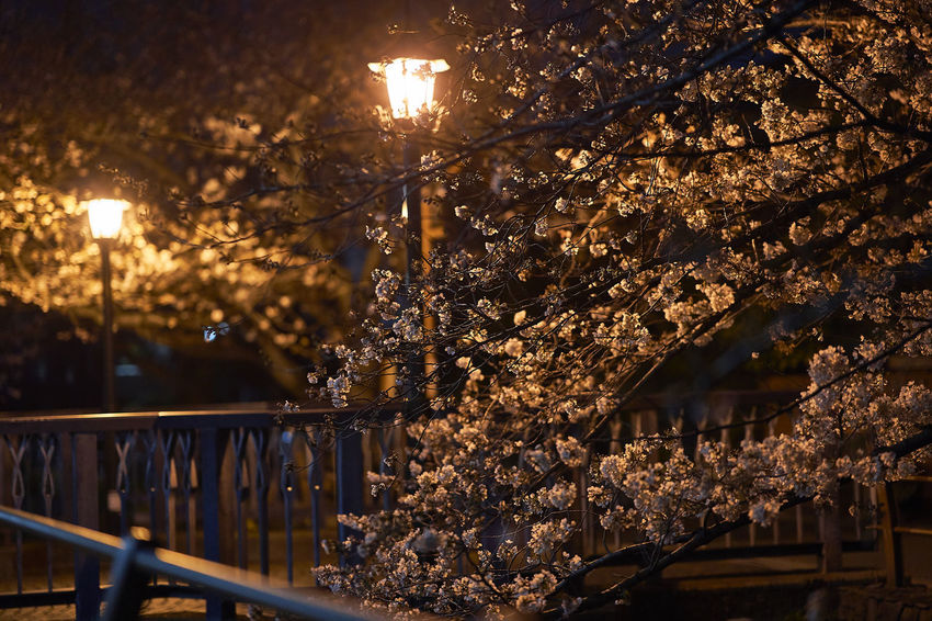 Cherry Cherry Blossom Cherry Blossoms Night Lights Night Photography Nightphotography Beauty In Nature Branch Cherry Tree Cherryblossom Close-up Flower Focus On Foreground Illuminated Nature Night Night View Nightshot No People Outdoors Tree