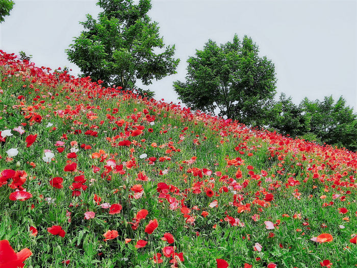 Beauty In Nature Day Flower Flower Head Fragility Freshness Grass Green Green Color Growth Nature No People Outdoors Petal Plant Poppy Red Sky Tree Wood