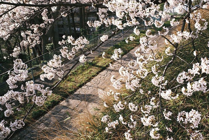 Ikuta Snapshots Of Life Klasse W Film Cherry Blossoms