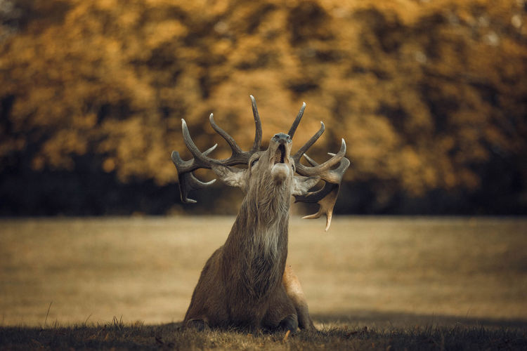 EyeEm Best Shots EyeEm Nature Lover London Animal Animal Themes Animal Wildlife Animals In The Wild Antler Canon Day Deer Field Focus On Foreground Herbivorous Horned Land Mammal Nature No People One Animal Outdoors Plant Stag Tree Vertebrate
