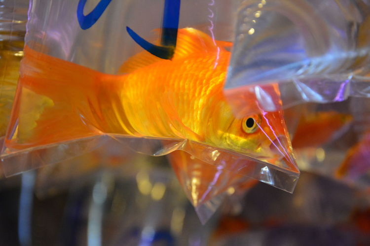 Close-up of goldfish in plastic bag for sale