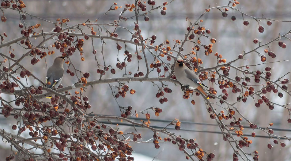 Cedar Waxwing Birds Perching On Crab Apple Tree