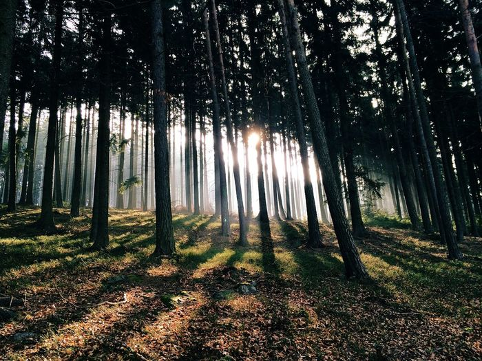 Beautiful image of tall trees and sunlight