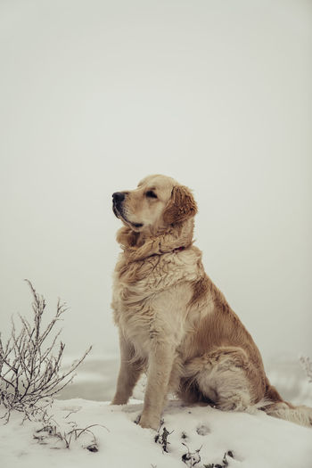 Dog looking away against white background