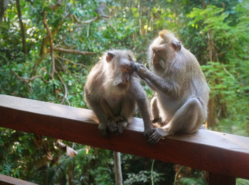 Animals In The Wild Nature Animal Wildlife No People Outdoors Care Togetherness Animal Themes Bali Monkey Sanctuary  Indonesia_photography Love Taking Care Affection Two