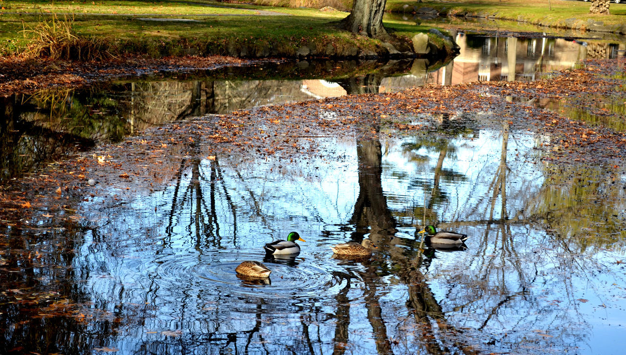Mallard Ducks Swimming On Lake At Park