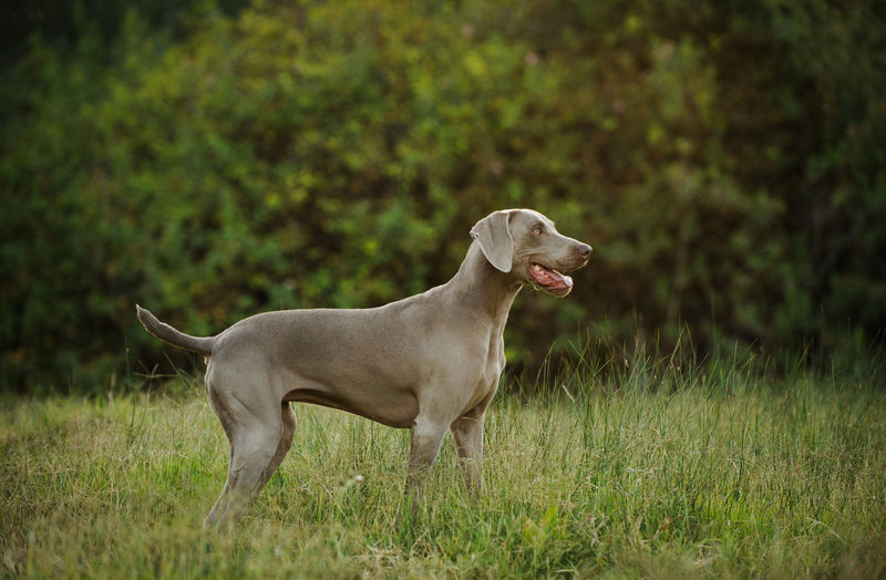 Weimaraner dog outdoor portrait Horizontal Standing Animal Themes Day Dog Domestic Animals Field Grass Grey Growth Mammal No People One Animal Outdoors Outside Pets Purebred Dog Shorthair Silver  Weimaraner