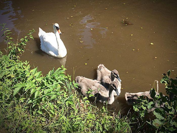 Ducks and swan