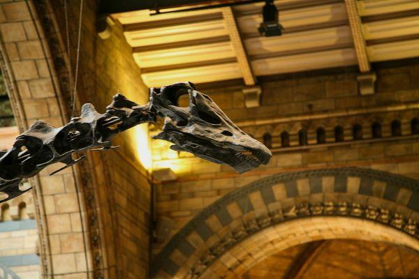 Natural History Museum Dinosaur Diplodocus Up Close