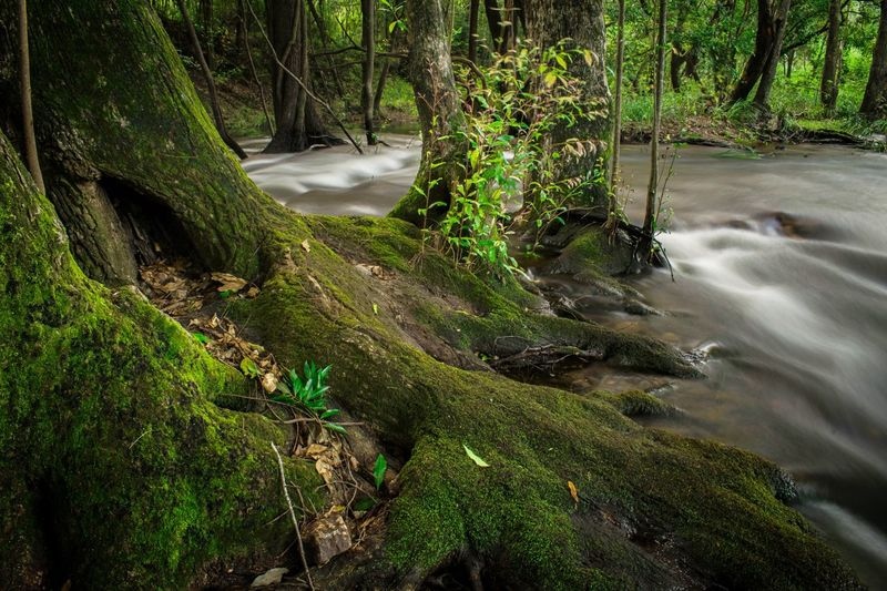 A stream flows through a moss covered forest. WeekOnEyeEm Long Exposure Water In Motion Motion Blur Dense Fresh Water Lush Nature Waterfall Moss Beauty In Nature Scenics Tranquil Scene Water Tranquility Tree No People Outdoors Idyllic Landscape Green Color River Forest Day Grass Growth