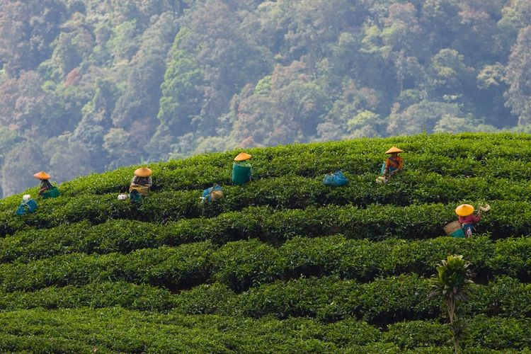 INDONESIA Java Picking Tea Plucking Tea Leaves Tea Tea Farmers Tea Pluckers Tea Plantation  Travel Travel Photography Traveling Eyeem Market People Hat Colorful Working Hard