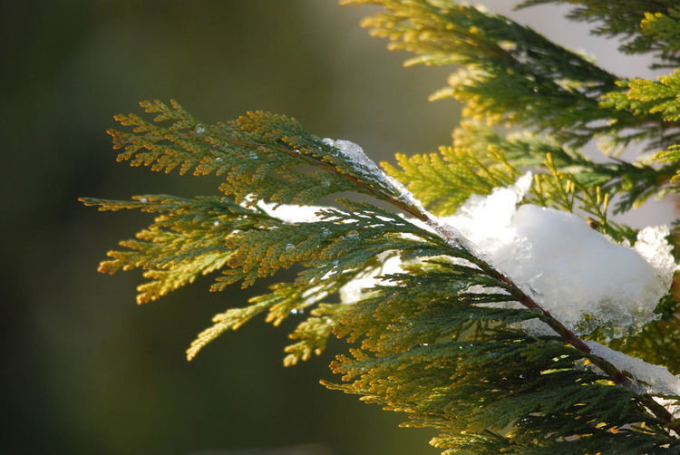 Close-up of snow on coniferous tree