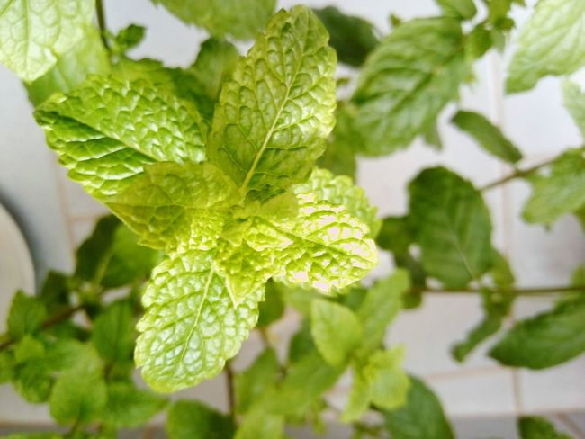 Mint Plant Leaf Plant Green Color Growth Nature Close-up Day No People Plant In Home Mint Green Mint Leaves Mint Plants Indoors