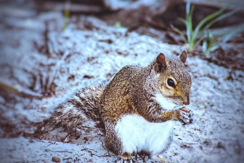 Animal Themes Animal One Animal Animal Wildlife Animals In The Wild No People Nature Vertebrate Focus On Foreground Close-up Day Field Rodent Mammal Squirrel Land Snow Cold Temperature Winter Outdoors