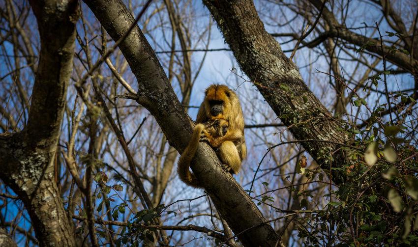 Close-up of howler monkey sitting on tree