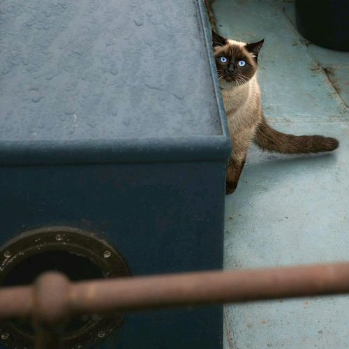 Ship Cat Ship Cat Blue Eyes