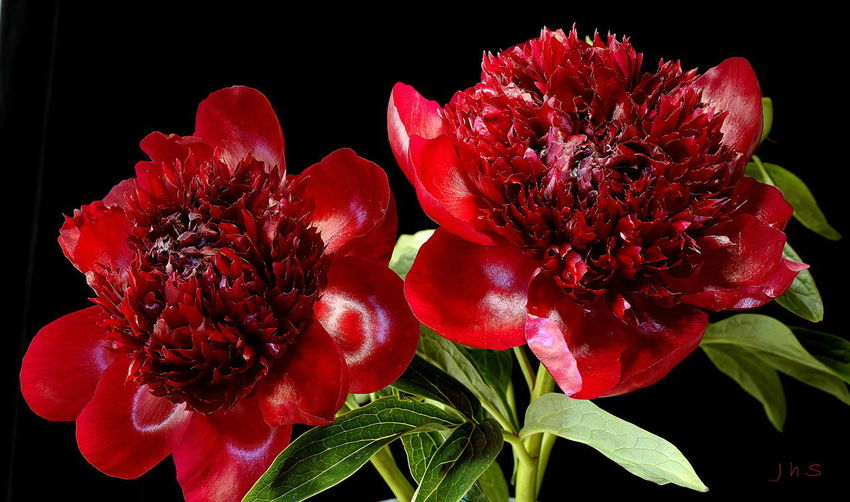 Twib Peonies Deep Red Peony Beauty In Nature Black Background Bouquet Close-up Flower Flower Arrangement Flower Head Flowering Plant Fragility Freshness Growth Leaf No People Petal Plant Plant Part Red Vulnerability
