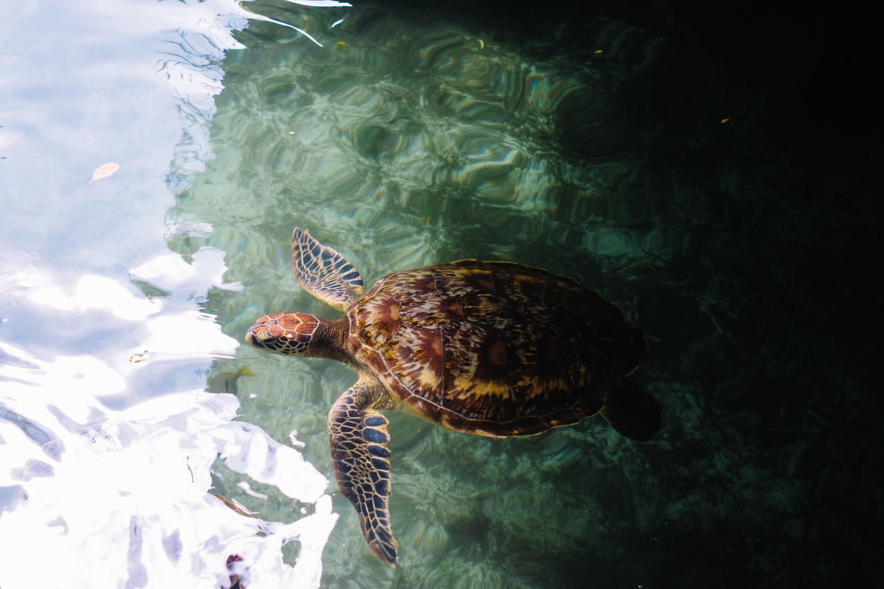 swimming, animal themes, one animal, water, sea life, underwater, animals in the wild, nature, wildlife, turtle, no people, sea turtle, undersea, day, sea, close-up, aquarium, outdoors, tortoise shell