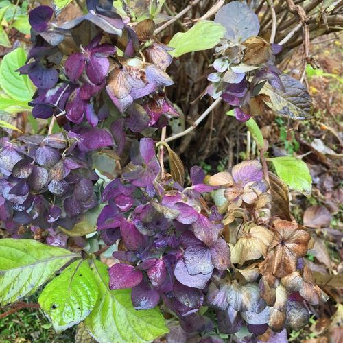 Autumn Beauty In Nature Fragility No People Plant Leaf Flower Nature Hydrangea Petal Gothic Purple