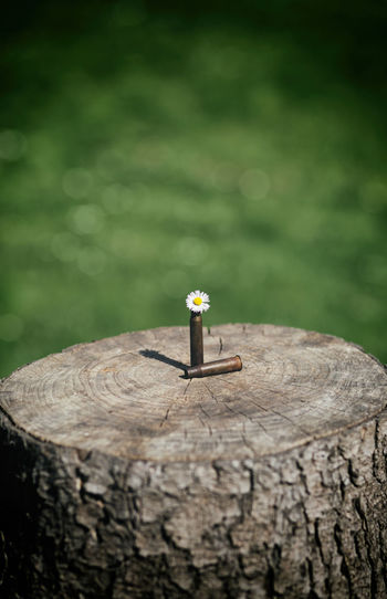 Shotgun shell and bullet with daisy flower outdoor on wooden plank with green bokeh background Colors Crime Growth Peace Rust Ammunition Bokeh Brown Bullet Concept Conflict Criminal Danger Dangerous Flower Flower Head Meatlovers Military Old Outdoors Plank Shotgun Shell Springtime Steel War