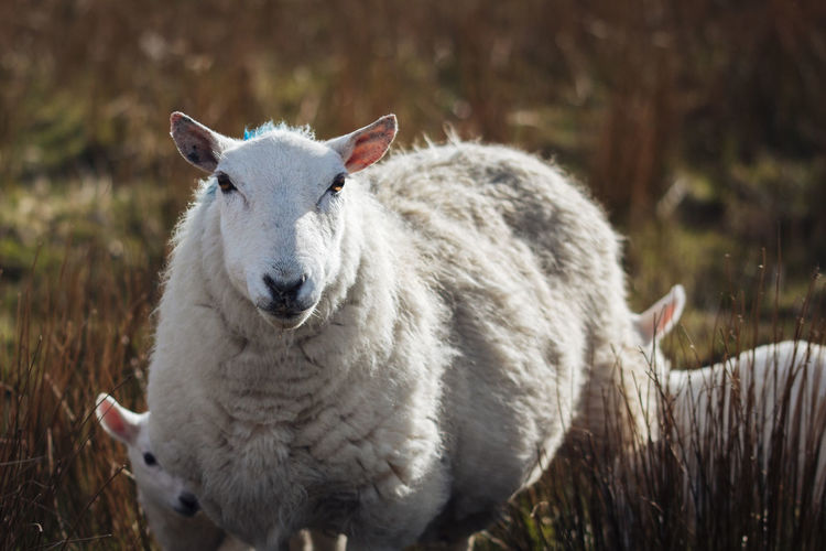 Close-Up Of Sheep Grazing On Field