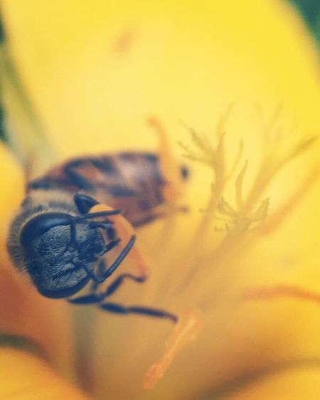 Flower Yellow Fragility Nature Close-up Animal Themes Beauty In Nature Petal Insect One Animal Animals In The Wild No People Freshness Flower Head Day Outdoors Pollination Bee Aukeymacrolens EyeEm Nature Lover EyeEm Gallery Eyeemphoto
