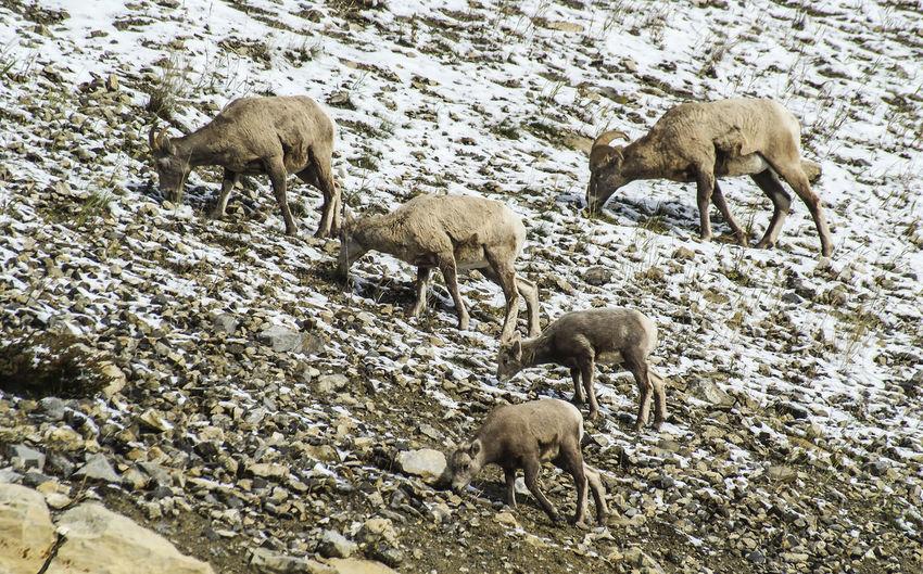 Bighorn sheep Canada Alberta Wildlife & Nature Wildlife Nature Wildlife Photography Bighorn Sheep Sheep Mountain Young Animal Animal Family High Angle View