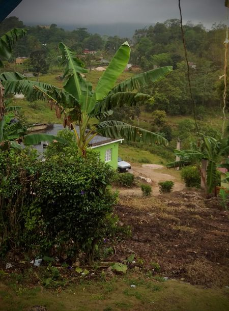 Jamaica Countryside Rainy Day Banana Tree Hillside Scenery Downhill View Green Greenery House On The Hill