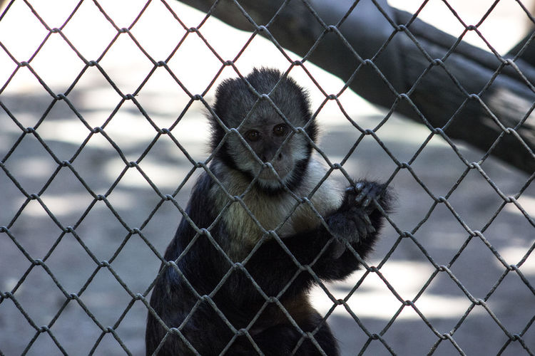 Beauty In Nature Boundary Chainlink Fence Close-up Day Fence Focus On Foreground Front View Holding Looking Majestic Mammal Nature No People One Animal Outdoors Protection Safety Security Tranquil Scene Wildlife Zoo
