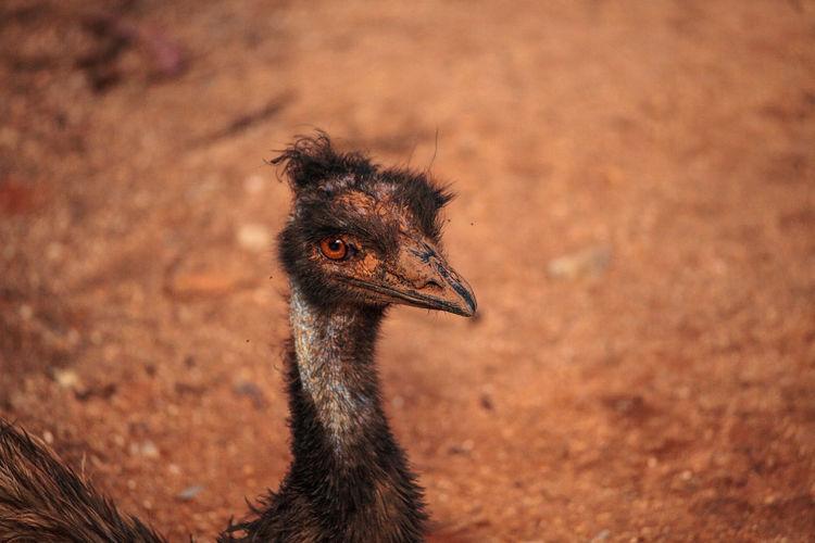 Emu dromaius novaehollandiae bird rests in the dirt in australia, where it is an endemic species