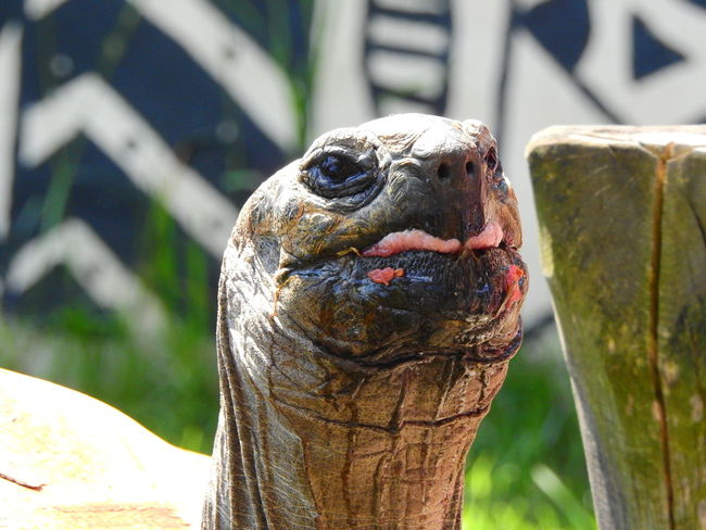 Animal Animal Body Part Animal Head  Animal Themes Animal Wildlife Animals In The Wild Barrier Bird Boundary Close-up Day Focus On Foreground Looking Marine Nature No People One Animal Outdoors Reptile Turtle Vertebrate