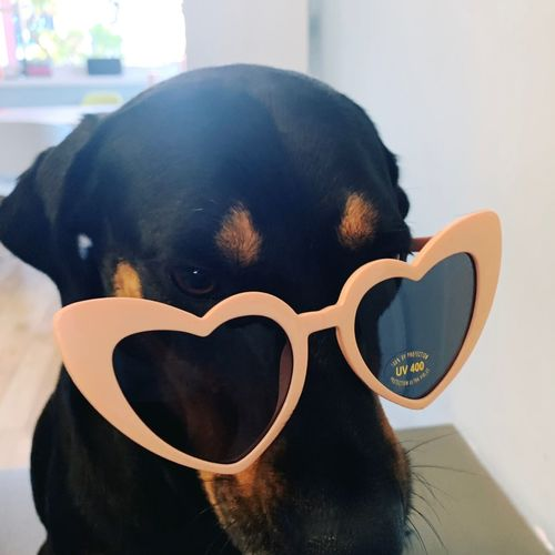 Close-up of dog wearing sunglasses