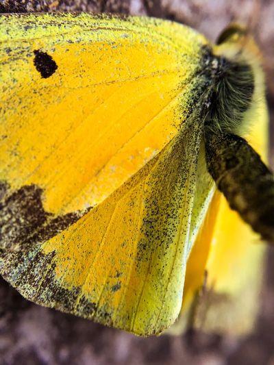 Sulfur butterfly Entomology Butterfly Alfafa yYellowMMacro PhotographyNNatureiInsectmMothcClose-upoOutdoorsfFocus On Foreground