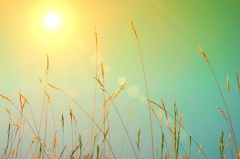 Growth Nature Sky No People Plant Field Sun Outdoors Beauty In Nature Rural Scene Tranquil Scene Tranquility Agriculture Close-up Day
