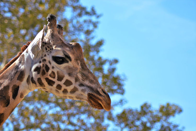 Close up of giraffe at the zoo, looking sunken in thoughts. Giraffe Giraffe♥ Animals Wildlife Nature Photography Spots Spotted Fur Animal Eye Animal Head  Summertime Springtime Nopeople Zoo Animals  Zoology Zoo ZOO-PHOTO Zoophotography Animal Mouth Animal Nose Animal Ear Animal Body Part Animal Face Close Up My Best Photo