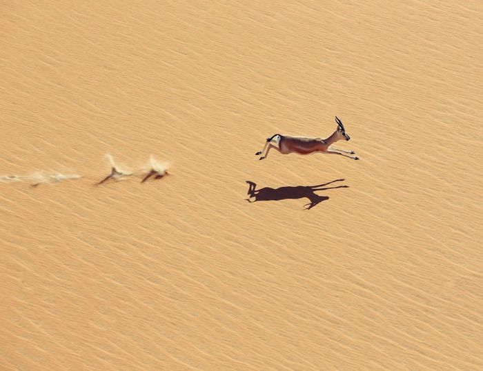 Arabian Gazelle, Rub'al Khali(empty Quarter) Wildlife & Nature The Empty Quarter Aerial Photography UAE Uae,abudhabi