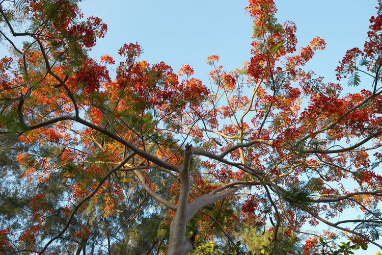 Tree Plant Branch Beauty In Nature Low Angle View Autumn Growth Sky Day Nature No People Tranquility Change Outdoors Clear Sky Trunk Scenics - Nature Tree Trunk Orange Color Forest Tree Canopy