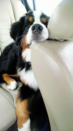 Are we there yet? Motley Bernese Mountain Dog Car Ride  Are We There Yet?