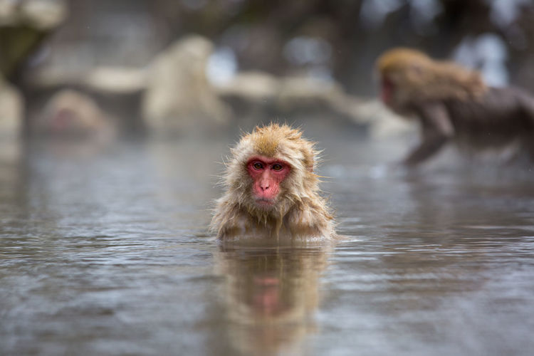 Animal Animal Family Animal Head  Animal Themes Animal Wildlife Animals In The Wild Cold Temperature Day Group Of Animals Hot Spring Japanese Macaque Looking At Camera Mammal Monkey Nature No People Outdoors Portrait Primate Two Animals Vertebrate Water