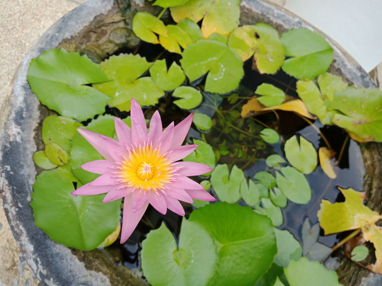 flower, flowering plant, freshness, plant, vulnerability, leaf, plant part, beauty in nature, growth, fragility, close-up, petal, nature, high angle view, flower head, inflorescence, no people, day, water, green color, floating on water, purple