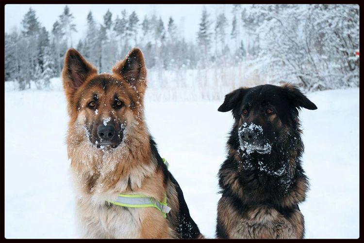 Shilohshepherd Shiloh Shepherd Shepherdmix Dogs